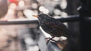 Reportan la muerte masiva de pájaros en Nueva York en medio de la temporada migratoria