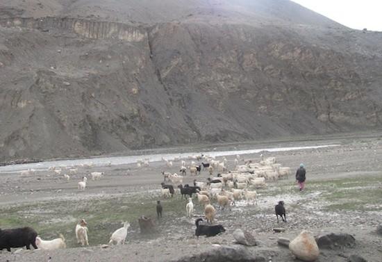 Una mujer changpa lleva a sus cabras pashminas cerca de Jarnak, en Cachemira. Crédito: Athar Parvaiz/IPS.
