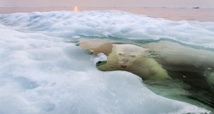 """Oso de hielo"", Gran Premio. Foto: Paul Souders / National Geographic Photography Contest"