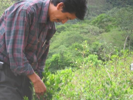 Un cocalero boliviano muestra su técnica de recolección de hojas. Crédito: Diana Cariboni/IPS, 2008