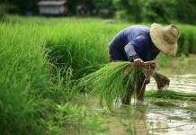 campo de arroz wanphen chawarung Shutterstock