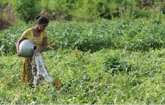 La agricultura es la actividad que consume la mayor parte del agua dulce, de riego y de lluvia, pero ese líquido escasea cada vez más, amenazando los propósitos de erradicar el hambre que padecen cientos de millones de personas. © Ishara Kodikara / FAO