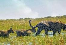 La jaguar Mariua, y sus dos crías, fueron liberadas en el gran parque Iberá, como parte de un programa para restablecer la fauna en hábitats degradados por la caza, la ganadería y el monocultivo. © Tompkins Conservation
