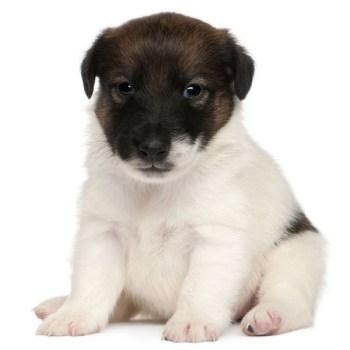 Fox terrier cachorro mascotas