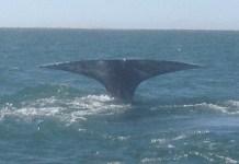 Kontxaki: ballena gris cola