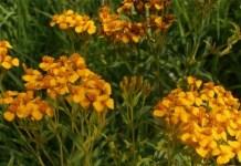 México: flores de yauhtli