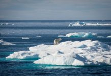 A polar bear moves along sea ice in Baffin Bay. Greenpeace crew and guests travel through Sam Ford Fjord, near Clyde River, Nunavut, to deliver solar panels in Clyde River.