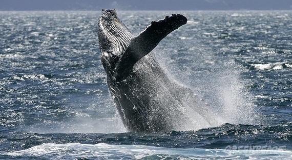 Greenpeace: cola de ballena en la Antártida