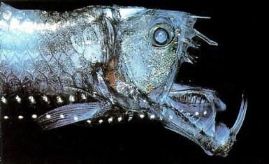Como hemos visto hasta ahora, los peces de las profundidades son los más extraños y los que más llaman la atención. El caso del Chauliodus no es una excepción. Es como un enorme bate de baseball lleno de afilados y enormes dientes. Imagina encontrarte con un ser como éste en las profundidades del océano. Además, este sorprendente y atemorizador pez posee largas antenas que perciben las vibraciones en la oscuridad del océano y ataca de inmediato.