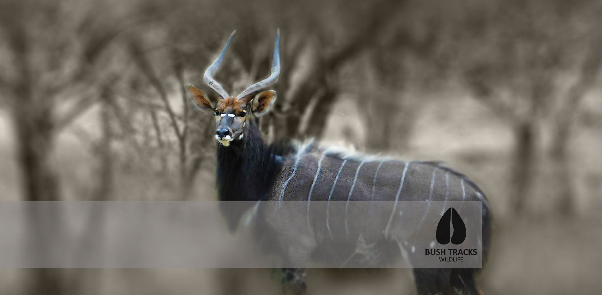 Peri Peri Creative - NYALA-Bush tracks-Wildlife