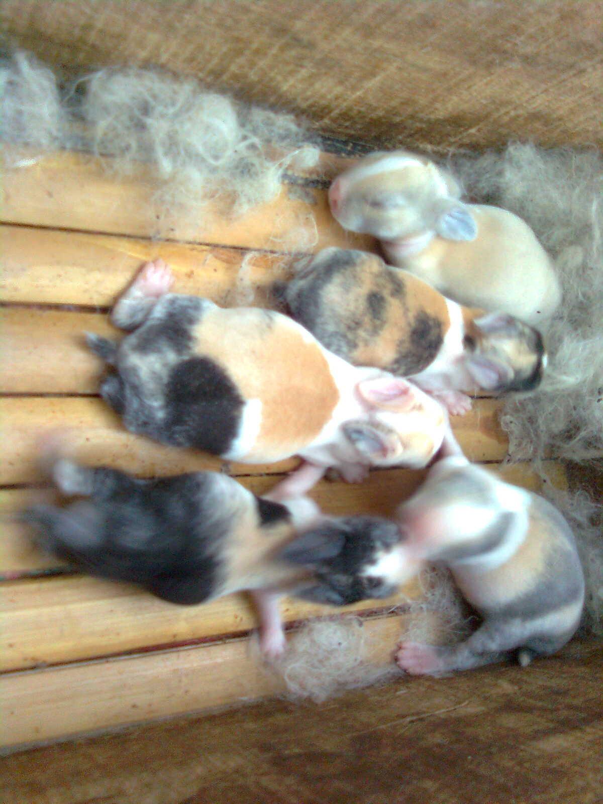bayi kelinci ducth tricolor