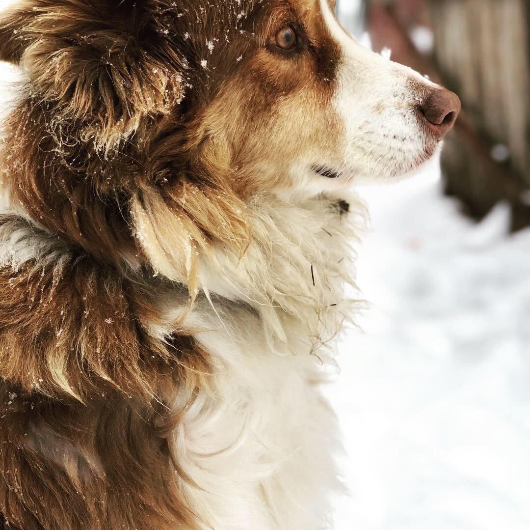 Chaco the faithful farm dog
