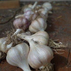 Table Garlic