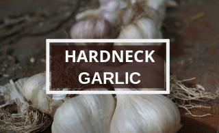 HARDNECK GARLIC (2)