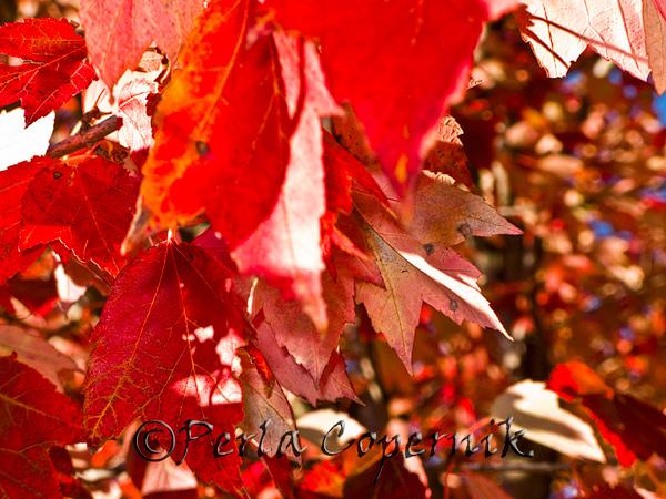 Close-up Red, Gaithersburg, Maryland