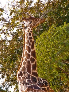 Girafe eating from the top of the trees in the Miami Metro Zoo.
