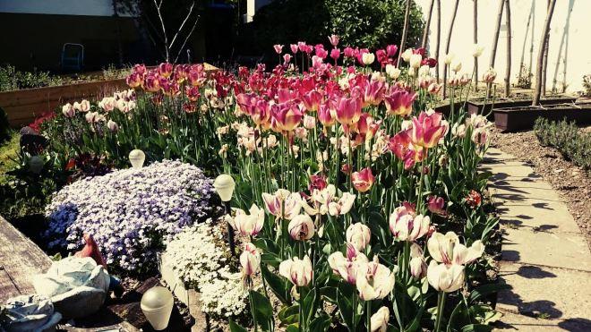Die Blumen des Nachbarn blühten um die Wette...fast verblüht aber dennoch schön anzusehen...
