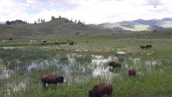 Bizony się pasą w Yellowstone :)