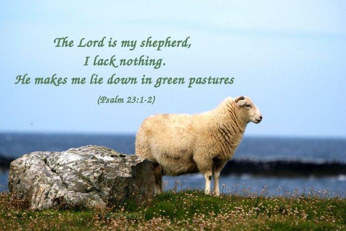 sheepang