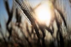 jak kłosy zbóż…