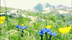 Szum wiatru w królestwie górskich kwiatów