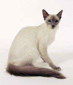 balinese cat 2