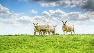 five white sheep on farm
