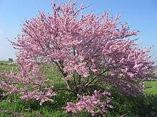 L'albero di Giuda permacultura