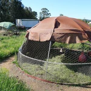 Purple Pear chicken tractor