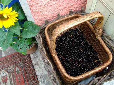 harvesting blackcurrants