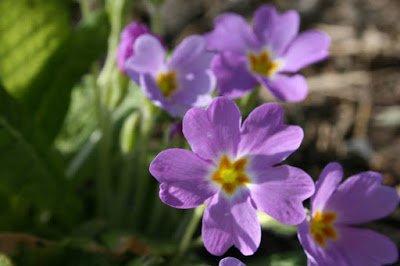 Primula vulgaris - Primrose ground cover under a Cornus mas in our garden