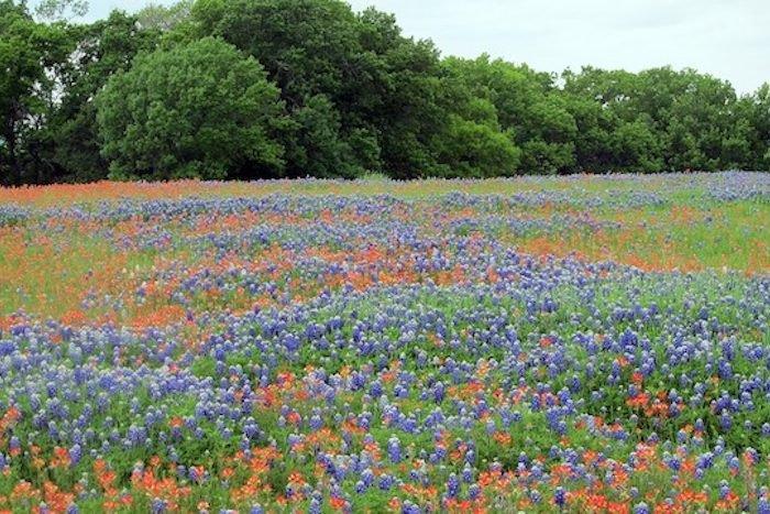 Texas Bluebonnets Rasen