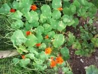 yummy edible flowers
