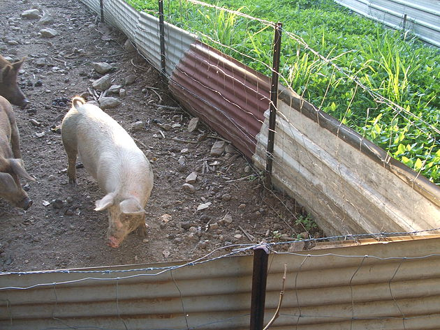 Gardening with Pig Power