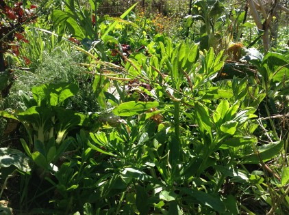 Moroccan spinach in the permaculture garden at Maungaraeeda, diy food and health