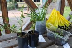 Perennial basil, aloe vera, turnip, coffee grounds