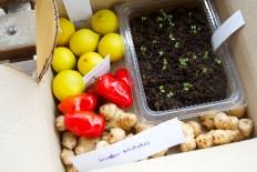 Limes, chillies, jerusalem artichokes and pak choy seedlings