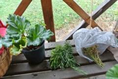 rhubarb_herbs