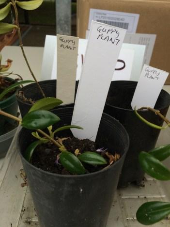guppy_plant