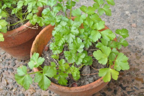 potted_parsley