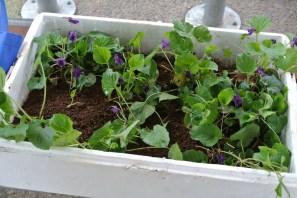 edible_violets