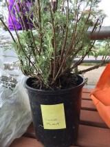 olive_plant