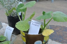 butternut_seedlings