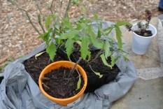tomato_seedlings3