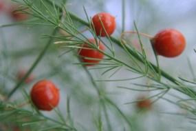asparagus_seeds2