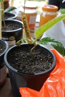 loquat_seedling