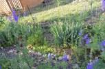Juki karolińskie rosną w najbardziej słonecznej i suchej części ogrodu, w towarzystwie rojników, które powoli zapełniają przestrzeń pomiędzy, a dodatkowo samosiejki ostróżki i inne wędrujące kwiecia :).