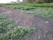 Wał permakulturowy kopany - po raz pierwszy, z posianą gorczycą i facelią, z południowej strony wzejdzie później – po deszczach.