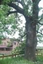Drzewo Kaczego pamięta miejsce ile lat?