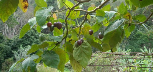 Fruiting tamarillo in our permaculture garden.